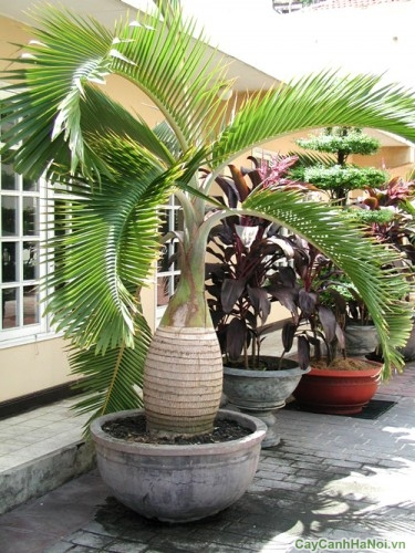 Cau Sâm Banh làm tiểu cảnh sân vườn