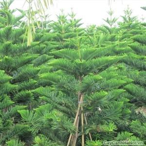 Cây bách xanh là cây thân gỗ to