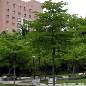 Cây Bàng Đài Loan được trồng trong khuôn viên trường