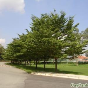 Cây Bàng Đài Loan tạo bóng mát trong công viên