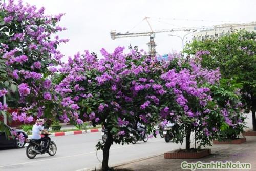 rợp bóng cây Bằng Lăng trên đường phố Hà Nội