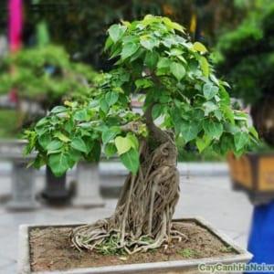Cây Bồ Đề bonsai