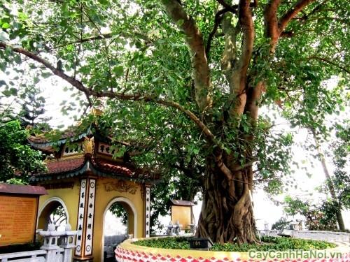 Cây Bồ Đề tại chùa Trấn Quốc