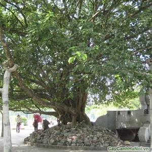 Cây Bồ Đề thường được trồng tại nơi đền chùa tĩnh lặng