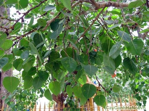 Lá cây Bồ Đề