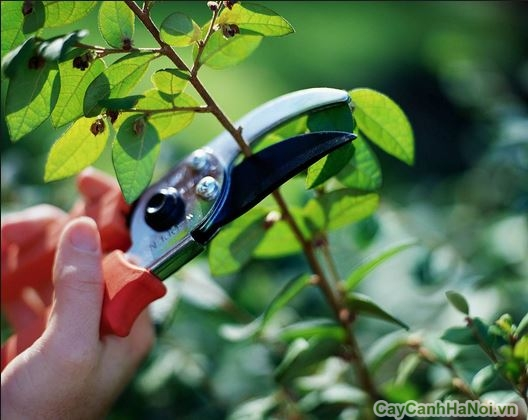Cây cảnh Hà Nội có chế độ bảo trì sân vườn uy tín