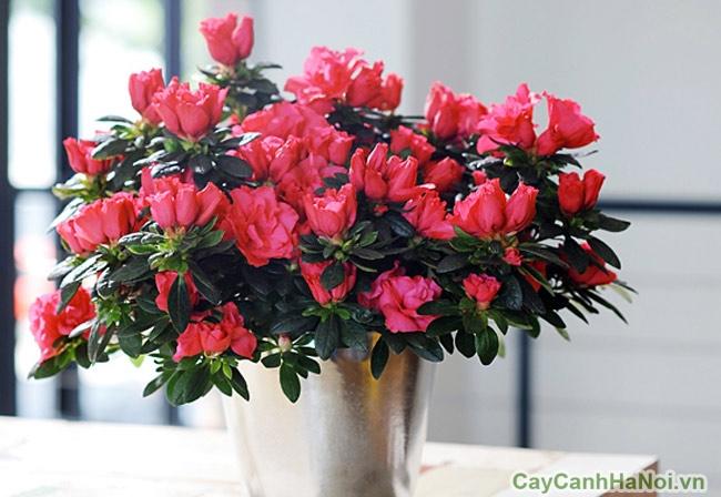 Hoa đỗ quyên mang đến nhiều vận may cho gia chủ