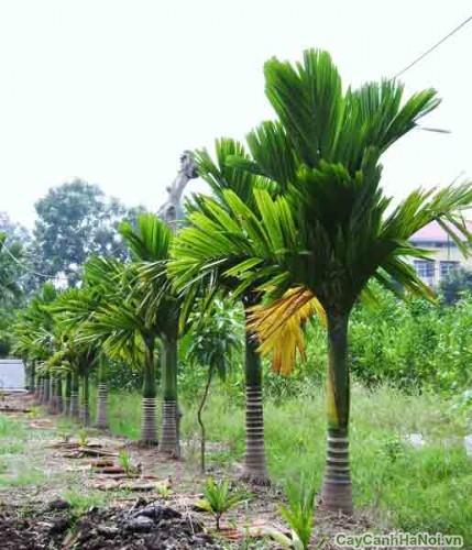 Hàng cây Cau Lùn tại sân vườn