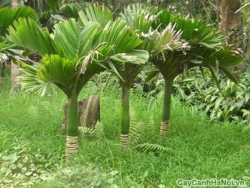 Cây Cau Lùn mọc nơi hoang dại