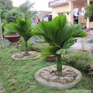 Cây Cau Lùn trồng tại bồn trong vườn