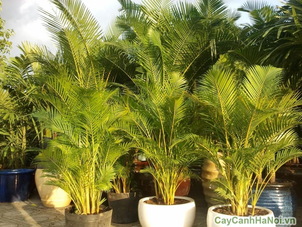 Cây cau nhật có tên gọi khác là cây cau vàng
