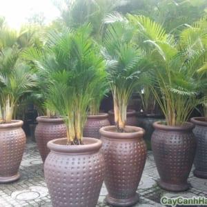 cây cau Nhật cần khá nhiều nước