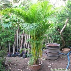 Cây cau vàng là một loài cây thân bụi, có tuổi thọ khá lâu và dễ trồng dễ chăm sóc