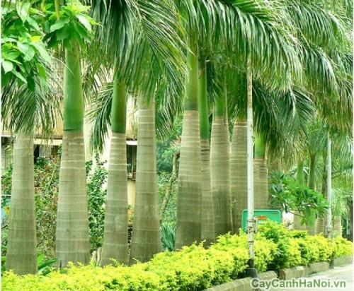 Hàng cây Cau Vua xanh nổi trên nền hoa vàng