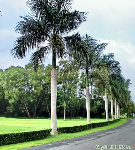 Hàng cây Cau Vua ven đường xa tít tắp