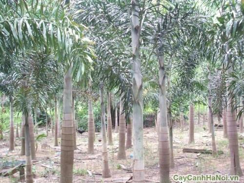 Vườn cây Cau Vua