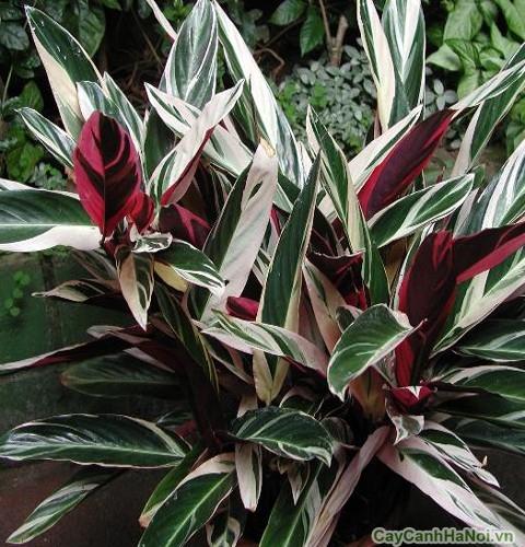 Cây Chuối Hoàng Yến có lá màu sắc đẹp
