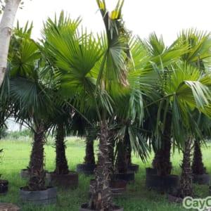 Cây cọ dầu thường được trồng tạo cảnh quan khuôn viên sân vườn