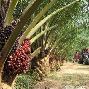 Cây cọ dầu có nguồn gốc từ vùng nhiệt đới Trung và Nam Mỹ