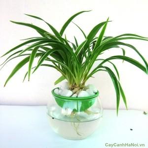 Cây cỏ Lan Chi cần độ ẩm tốt
