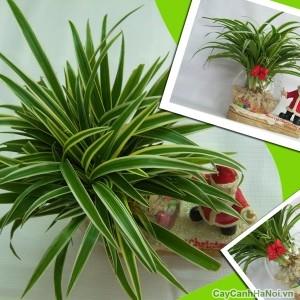 Cây cỏ Lan Chi được dùng làm quà tặng xinh xắn