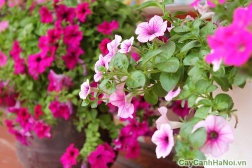 Hoa Dạ Yến Thảo đẹp dịu dàng