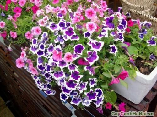 Đa sắc màu với hoa Dạ Yến Thảo