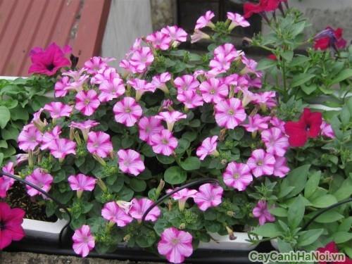 Hoa Dạ Yến Thảo dược trồng ở công viên, quán cafe