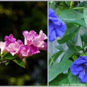Cây hoa Đậu Biếc với màu xanh tươi mát