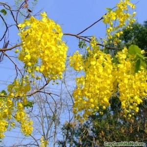 Hoa cây điệp vàng nở vào tháng 5-8 hoa nở thành chùm có màu vàng rực rỡ