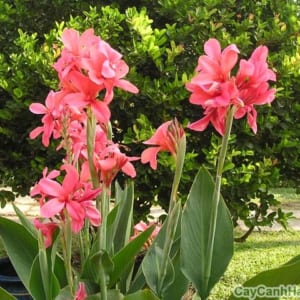 Với màu hoa Dong Riềng đỏ, nổi bật giữa công viên