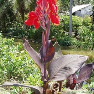 Cây Dong Riềng với hoa đỏ cũng được làm cây cảnh