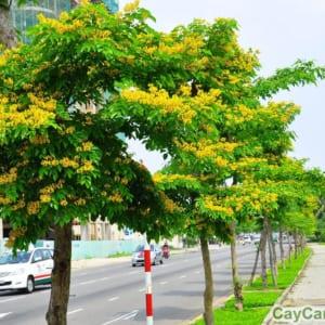 Cây giáng hương có dáng đẹp, hoa thơm được trồng làm cây cảnh trong công viên
