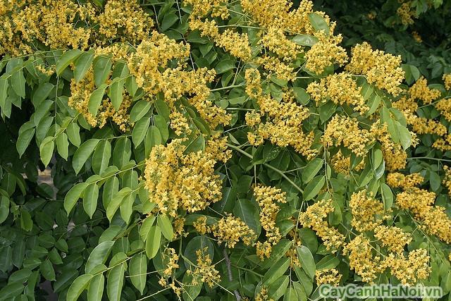 Cây giáng hương thường thuộc nhóm cây thân gỗ, có thể cao đến 20-30m