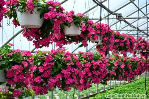 Hoa Dừa Cạn trồng chậu treo