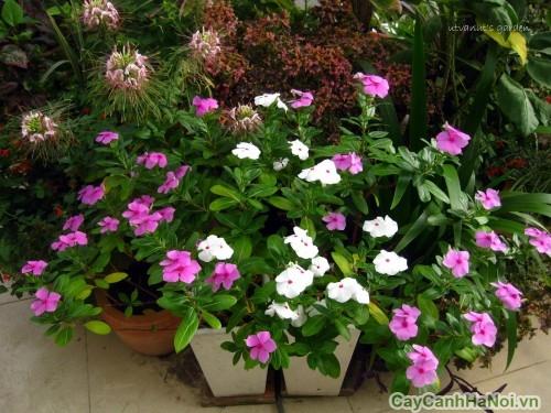Hoa Dừa Cạn ưa sáng