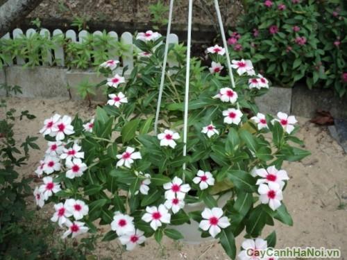 Trang trí tiểu cảnh sân vườn với hoa Dừa Cạn
