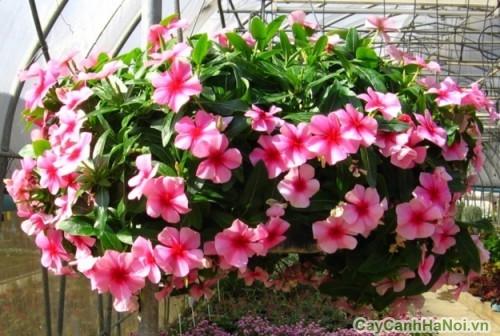 Hoa Dừa Cạn tô điểm khu vườn với màu sác tươi thắm