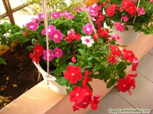 Sự kết hợp màu xanh lá với sắc hoa Dừa Cạn
