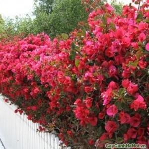 Cây Hoa Giấy cũng được dùng làm cây đường viền trong công viên