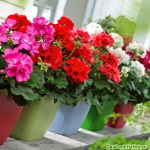 Cây hoa Phong Lữ trang trí ban công tuyệt đẹp