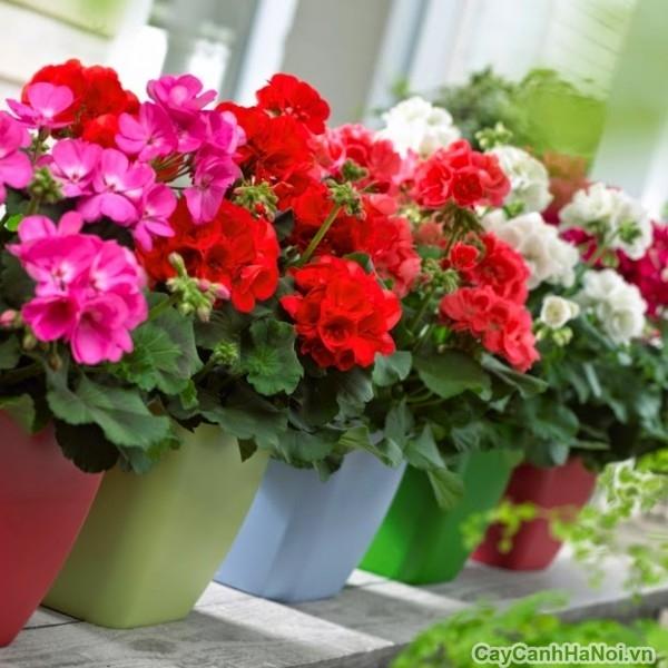 cay-hoa-phong-lu 1