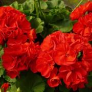 Đóa hoa Phong Lữ đỏ rực rỡ