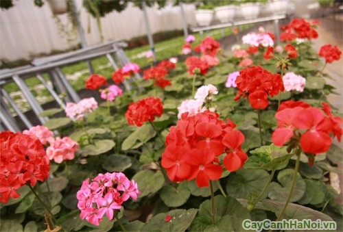 Cây hoa Phong Lữ có tác dụng đuổi muỗi