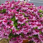 cay-hoa-phong-lu 4
