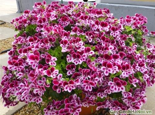 Hoa Phong Lữ với màu sắc đa dạng