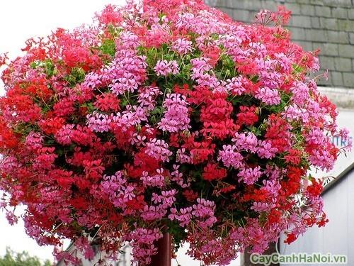 Hoa Phong Lữ rủ
