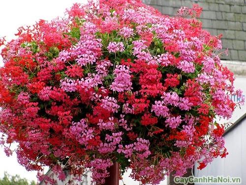 cay-hoa-phong-lu 5