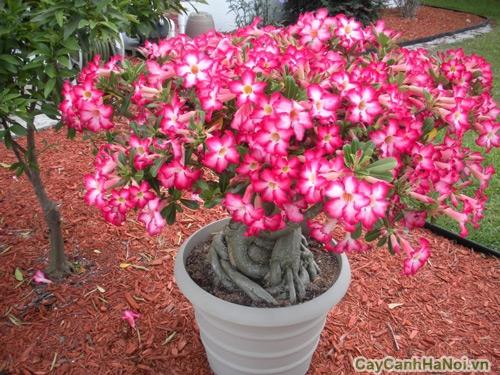 cay hoa su 2