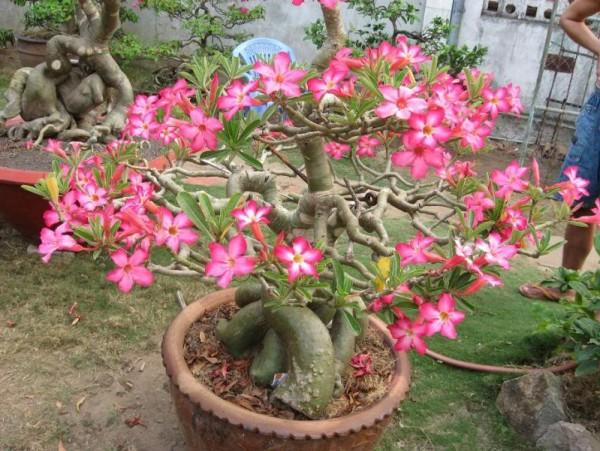 cay hoa su 3